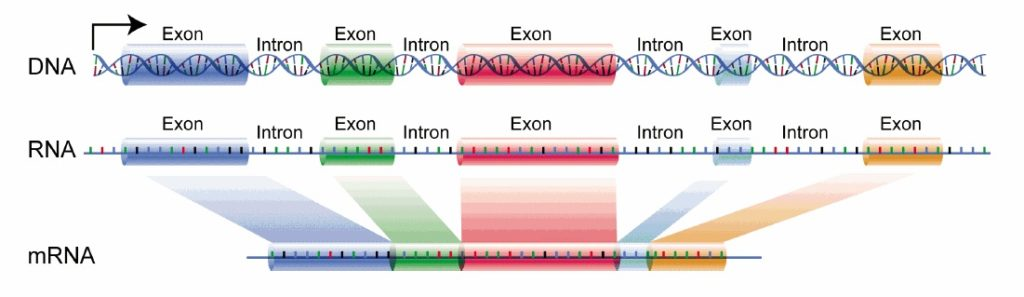 DNA introns exons