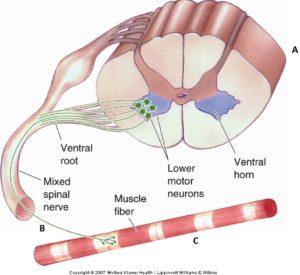 Ruggenmerg-zenuw-spier